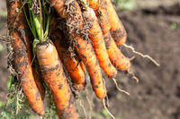 Freshly harvested carrots close up