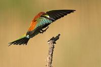 Bienenfresser (Merops apiaster) fliegt auf Ast