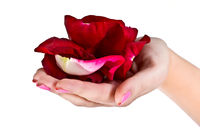 rose petals on  female hand