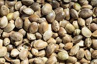 background - unpeeled hemp seeds close up