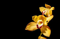 Phalaenopsis blossom on black