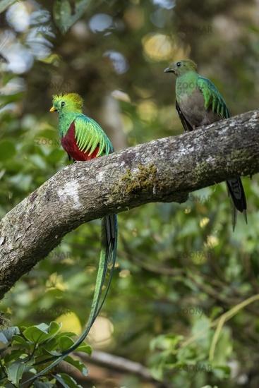 Two resplendent quetzal sitting on tree in summer light