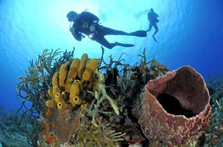 Aplysina fistularis und Xestospongia muta, Karibisches Kroallenriff, gelber Roehrenschwamm, Tonnenschwamm mit Taucher