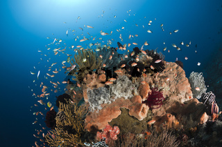 Juwelen-Fahnenbarsche an Korallenriff