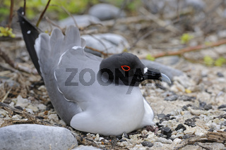 Gabelschwanzmoewe (Creagrus furcatus) , bruetet auf Nest, Insel