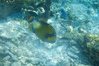Balistoides viridescensi triggerfisch