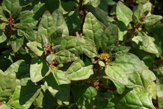 Tetragonia tetragonioides, Neuseelaender Spinat, New Zealand spinach