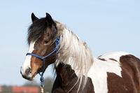 Horse, Pinto, Portrait