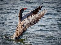 Greylag Goose Preparing for Flight