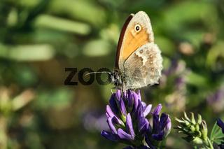 Kleines Wiesenvögelchen ( Coenonympha pamphilus ).
