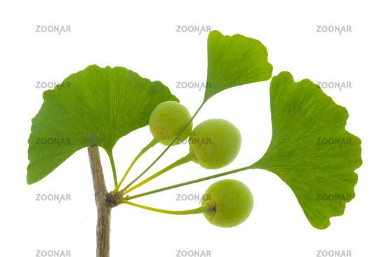 leaf of Ginkgo tree over white background