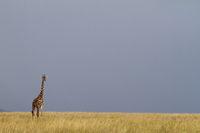 Masai Giraffe, Kenya.