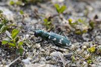 Northern dune tiger beetle  (Cicindela hybrida)