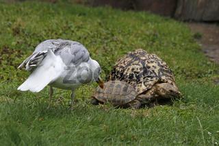 Möwe trifft Schildkröten