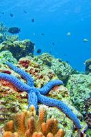 Blue Sea Star, Lembeh, North Sulawesi, Indonesia