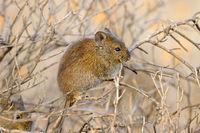 A Karoo bush rat (Otomys unisulcatus) in natural habitat