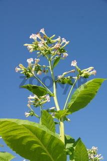 Nicotiana tabacum, Echter Tabak, tobacco
