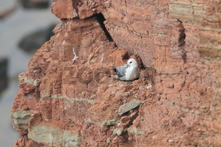 Eissturmvogel  Helgoland