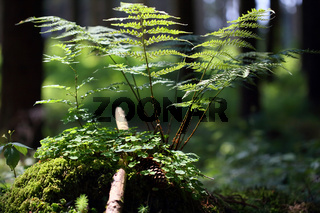 Dornfarn, Dryopteris carthusiana (dilatata), broad buckler fern