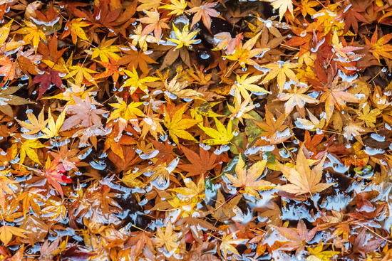 maple leaves on the pond in autumn