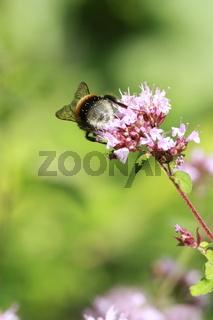 Hummel mit Pollen auf Origanoblüte