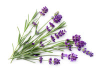 Lavender Isolated On White Background Flat Lay