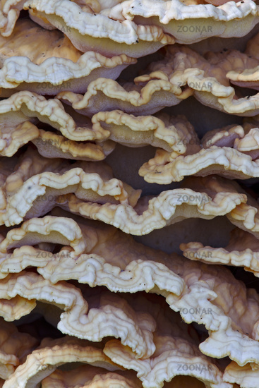 The Sulphur Polypore is bright yellow, orange or yellow-orange coloured when young