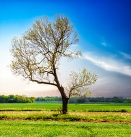 Lonely spring tree on a green meadow