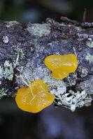 Orange Jelly (Dacrymyces palmatus)