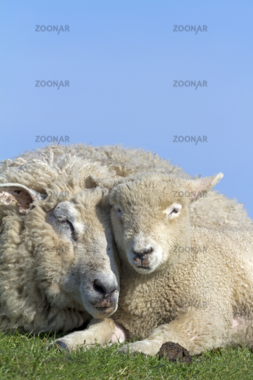 Domestic sheep with young animal (Ovis orientalis