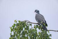 Despite the rain, the Common Wood Pigeon does not seek cover / Columba palumbus