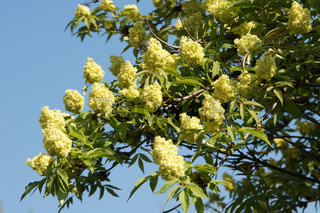 Sambucus racemosa, Traubenholunder, Red Elder