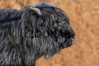 junger Highland Bulle in schwarz