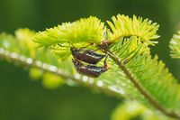 Mating cockchafers or may bugs on a sunny evergreen tree, Austria, Europe