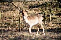 young deer in Döberitzer heath