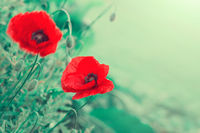 Red poppy flowers isolated on green background