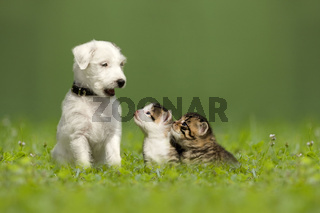Parson Jack Russell Terrier puppy with two little kittens