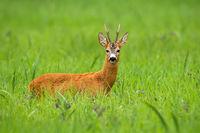 Roe deer buck standing on a tall green grass and facing camera