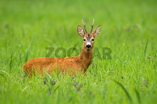Roe deer buck standing on a tall green grass and facing camera