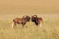 A pair of black wildebeest (Connochaetes gnou) in open grassland