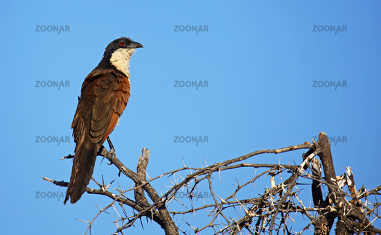 Coucal, Moremi Game Reserve