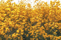 Golden pyramid sunflower