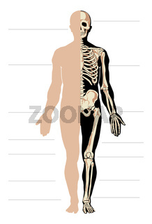 Anatomy male