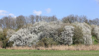 A large flowering bush of blackthorn on a slope
