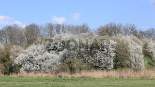 Großer blühender Schlehenbusch an einem Hang