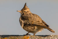 Crested lark sitting on a concrete near to village.