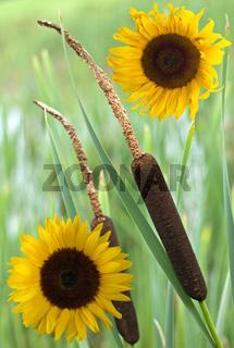 Schilfkolben mit Sonnenblumen