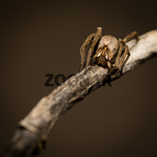 wolf spider sitting on a wood stick in spring time, hessen, germany