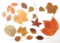 Dried pressed autumn leaves on a white background