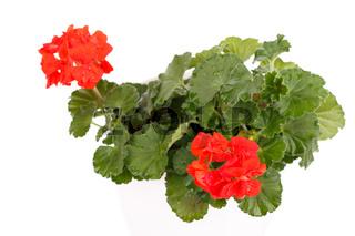 Red geranium blossom